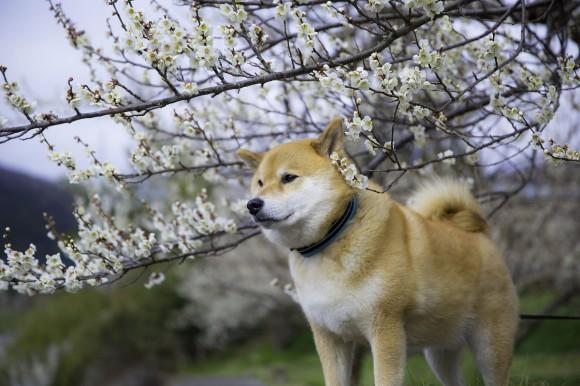まさかの183万人超え! インスタグラムのフォロワー数ランキングでローラさんよりも人気の「柴犬まる」をご存知?