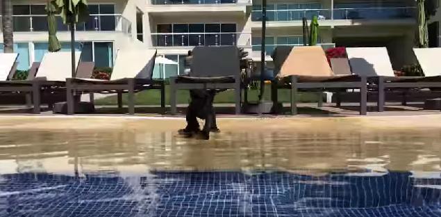 「プールだーー!」赤ちゃんジャガーが勢いよくドボン! その後どうなったか…結末をご覧ください