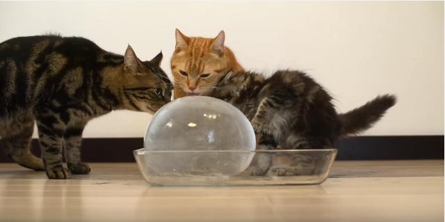 猫も氷がだぁいすき♪ 水風船で作った巨大氷をひたすら舐めまくるニャンコたちが可愛すぎるのです