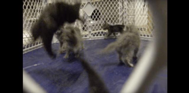 【はじけまくり】まるでポップコーン! ポンポン跳ね回る子ネコたちを見ているだけで元気になれちゃう!!
