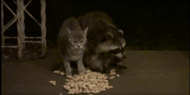 【ツンとデレ】スリスリする猫ちゃんとツレないアライグマの名コンビ! 片思いに見えるけどいつでも一緒の相思相愛♪