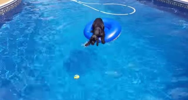 プールに浮いてるボールを取りたいワン…そうだ浮き輪、乗ろう! 浮き輪を使って犬かきをするビビりだけど賢いワンコ