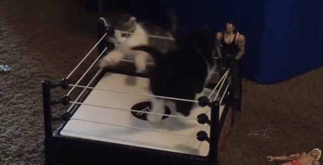 オラオラオラ! ミニボクシングリングでやり合う子ネコちゃんがとってもキュート!!