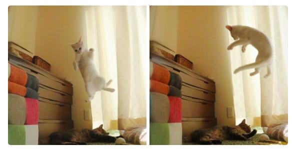 遊びたい遊びたい、だから飛ぶの! 想像を超える大ジャンプで友達ニャンコをお誘いする子ネコ