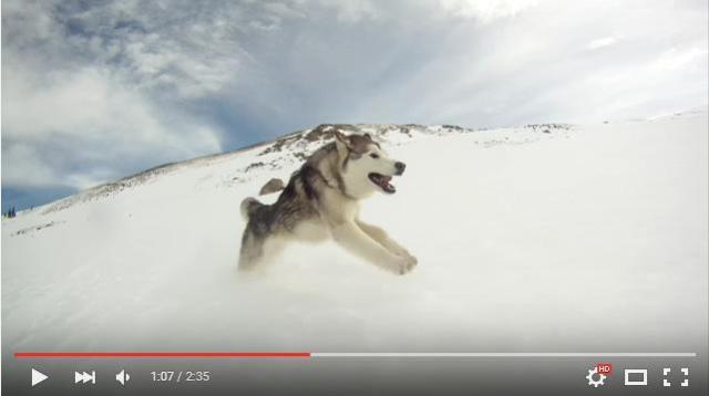 自然、最高~っ!! 雪山を思いっきり駆け回るハスキー × アラスカン・マラミュート × オオカミのミックス犬・ロキさんをご覧ください