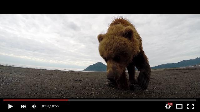 【ド迫力】撮影中のカメラのほうへおそるおそる近づいてくるクマ……すると、次の瞬間!!!!!