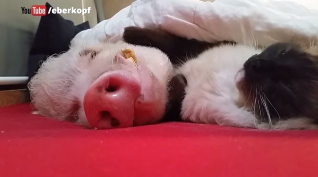 このナデナデはうらやましい…究極に癒されるニャンコの「肉球ナデナデ」にうっとり熟睡しているブタさん