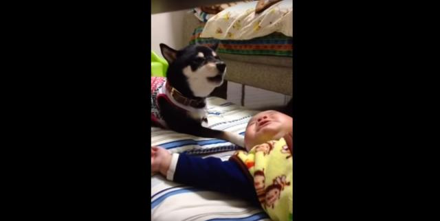 """「大変! 赤ちゃん泣いてる!!」柴犬が即座に実践した """"わんこ流あやし方"""" がナイス! / ネットの声「我が家にも1匹ほしかったです」"""