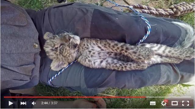 【野生どこ】まっすぐ寝る猫も可愛いがチーターの赤ちゃんがやると100000倍可愛いゾ!!