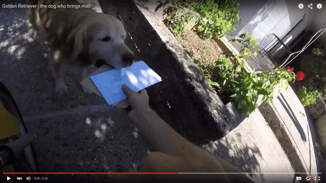 「ごくろーさん、また明日ね!」配達員から郵便物を受け取って飼い主さんに届ける13歳のゴールデンレトリーバー
