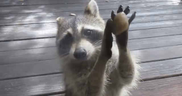 「ゴハンご飯ごはん……」窓の外から必死にノック! おねだりするアライグマの表情にキュンとする動画