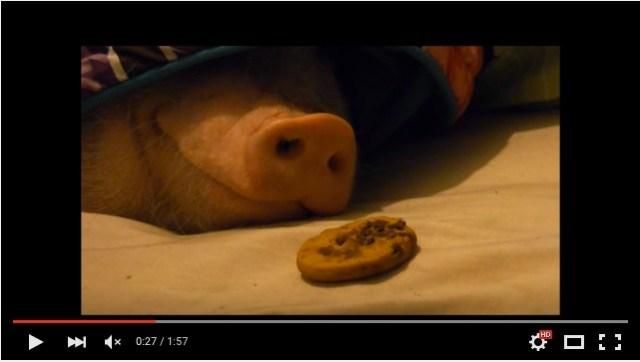 【幸せ映像】寝ているブタさんの鼻先にクッキーを置いてみたよ! 果たしてブタさん、気づくかな?