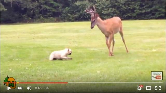 フレンチブルドッグと鹿が追いかけっこ♪ ほのぼの動画かと思いきや…!? / 視聴者の声「鹿は明らかに攻撃的」「戦おうとしている」