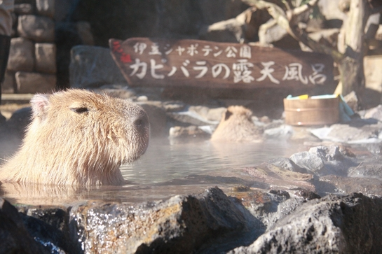 カピバラ一家の入浴姿に癒やされて♪ 伊豆シャボテン公園で冬の風物詩「元祖カピバラの露天風呂イベント」が始まるよ~!