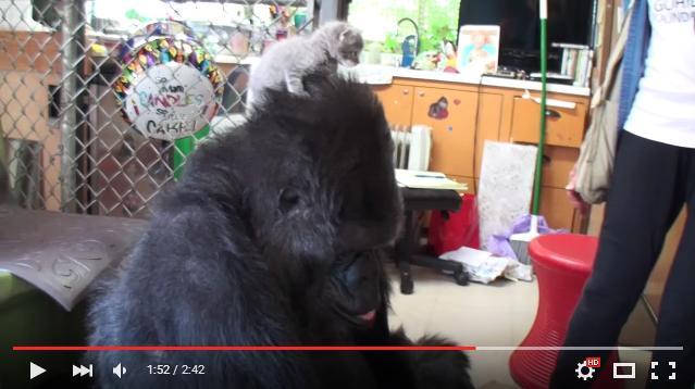 世界で初めて手話で会話したゴリラ・ココさんが子猫とご対面! その後見せた「驚きの行動」とは?