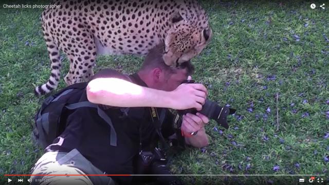 味見? それとも友好の証? チーターがカメラマンの頭をペロペロしている動画に背筋が凍りつく!