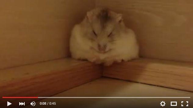 気持ちよさそうに眠っている、ふわもこのハムスターさんがコロン…こんなかわいい転がり方がこの世にあるなんて!