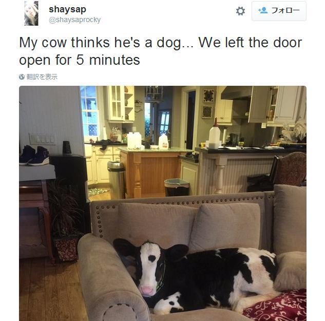 まるでワンコ! 自分を完全に「犬だと思い込んでいる子牛」がネットで大人気です
