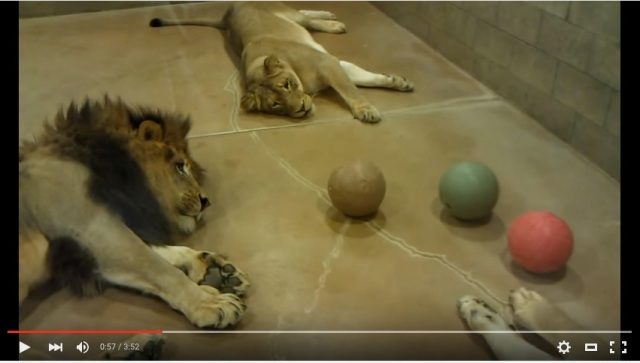 こんな百獣の王見たくない…!! 世界一やる気のないライオンたちのボール遊びを目撃