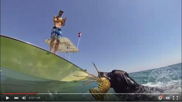 【捕ったどー】ロブスターを素潜りでキャッチ! まるで海女さんみたいなダイバー犬を発見したよ!!