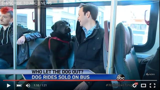 【ひとりでできるもん】バスに乗ってドッグパークへ通う黒ラブラドールのエクリプスちゃんがお利口さんすぎる!