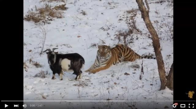 「トラに生きたヤギを餌として与えたら親友になってしまった件」というラノベのタイトルのような事案がロシアのサファリパークで発生
