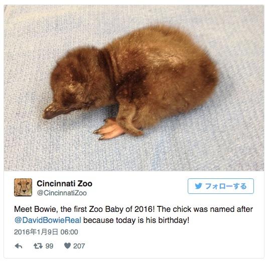 米動物園で誕生したペンギンの赤ちゃんに付けられた名前は「ボウイ」! デヴィッド・ボウイさんの誕生日に生まれたからなんだって!