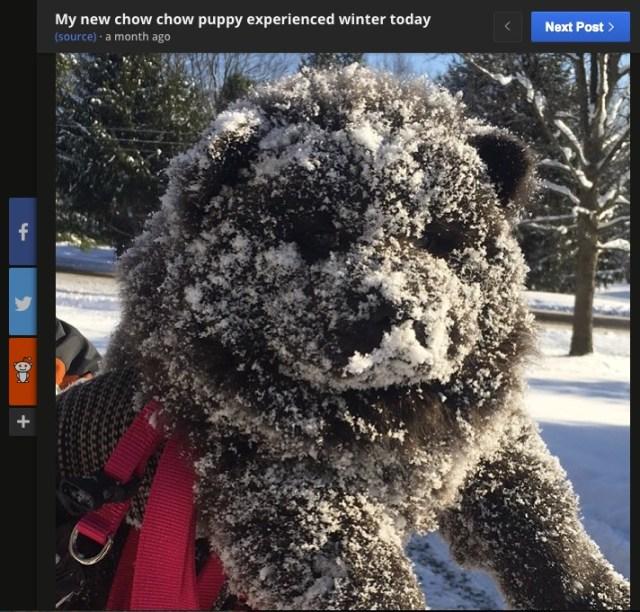 「雪だー! キャッホーイ!」一面の銀世界に大興奮したチャウチャウ犬の「お菓子に進化した姿」をご覧ください