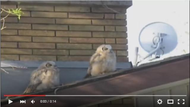 【超ドンマイ】日向ぼっこする2羽のフクロウ……このあと左のフクロウさんにとんでもない不幸が訪れます