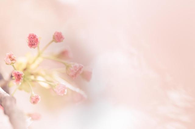 あなたの地域の桜はいつごろ咲くかな? 全国のソメイヨシノの開花予想が発表されたよ♪ 東京はいつもより早い3月22日ごろ!
