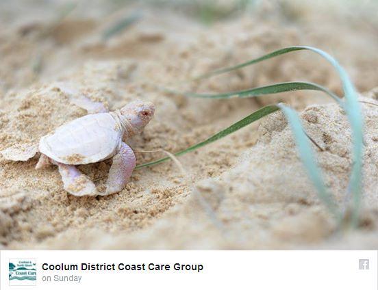 """【真っ白】世にも珍しい """"アルビノ"""" のウミガメがオーストラリアのビーチで発見されたんだって!"""