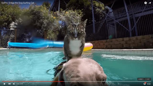 「猫並み」外れた凄猫ディッジャちゃん、今度はプールで「イヌ・サーフィン」を披露してくれたよ!