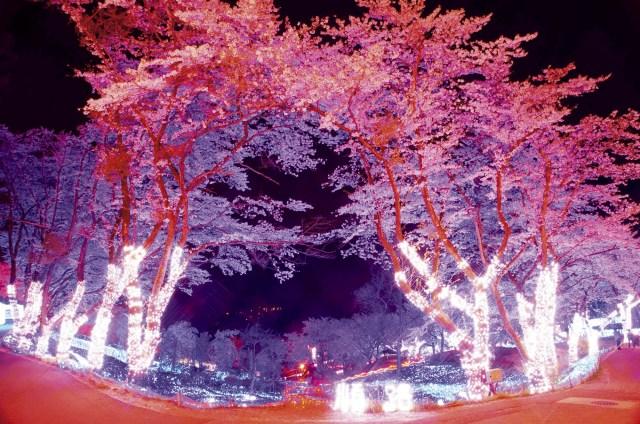 もうすぐお花見シーズン! 旅のプロ『じゃらん』がこの春おススメする一風変わった「珠玉の桜名所」はここだっ
