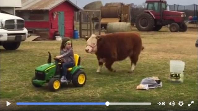 「ノリノリで散歩する少女と仕方なく付き合う子牛」動画がフェイスブックで大人気♪ 再生回数480万回超え!