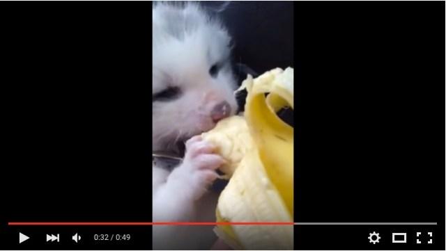 チュパチュパ…アカギツネの赤ちゃんのエンジェルっぷりがヤバイ / バナナを食べてるだけなのにキュン死レベル