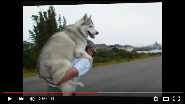 フツーのお散歩となんか違う…疲れたらお父しゃんにおんぶしてもらうハスキーちゃん30キロが楽しそう!
