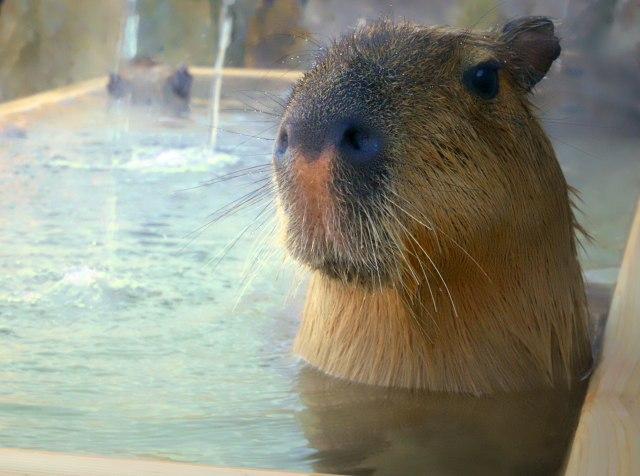 栃木に日本初「カピバラの湯」が誕生するんだよ! 温泉につかりながらカピバラを観察できるなんてめちゃレア体験です♪