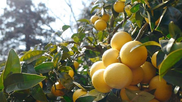 ゲップがオレンジの香りになるって本当!? 神奈川産オレンジ「湘南ゴールド」を贅沢に使ったフルーツビールが発売されます♪