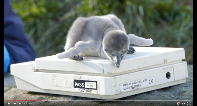 ほわっほわの生まれたてペンギンが体重測定されてる姿にキュン! 可愛いけど…名前がちょっとオモシロイよ!?