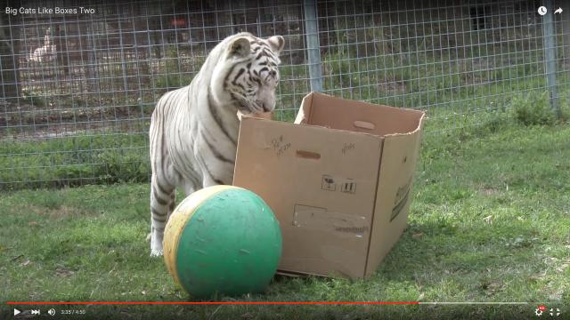 トラやチーターもやっぱりダンボールが好き? ねこ科動物たちのダンボールに対するリアクションを収めた動画に「やっぱりな」