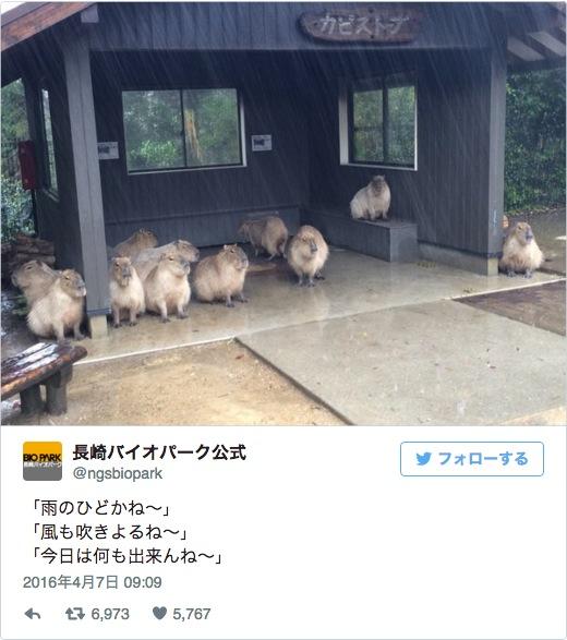 「雨のひどかね〜」春の嵐吹き荒れる4月7日「長崎バイオパーク」のカピバラさんたちが雨宿りしながら長崎弁でおはなししてたよ