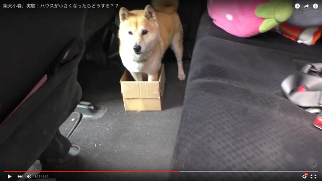 柴犬が車に乗る時「ハウス」するダンボールをどんどん小さくしてみると…? ワンコの真面目すぎるリアクションに笑いがとまらない!!!!