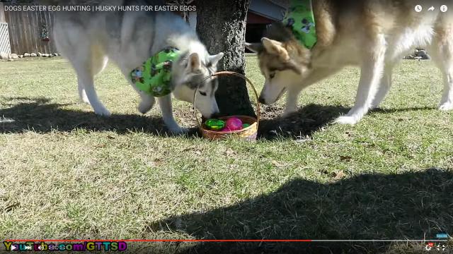 犬たちのワクワクが伝わってきます♪ イースターの「エッグハント」を楽しむハスキー軍団がめっちゃ楽しそう!!!