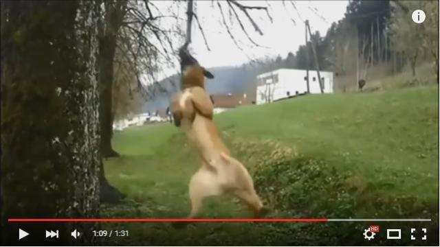 ひとり遊びの上手いターザン犬! 木の枝をくわえてブラーンブラーンと回転している様子がなんともシュール