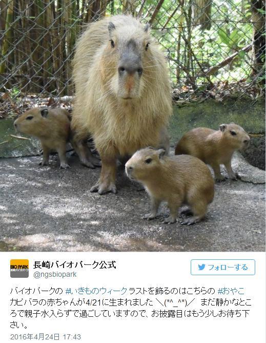 【めでたい】めちゃかわ! 九州・長崎バイオパークでカピバラの赤ちゃんが生まれたよ!!