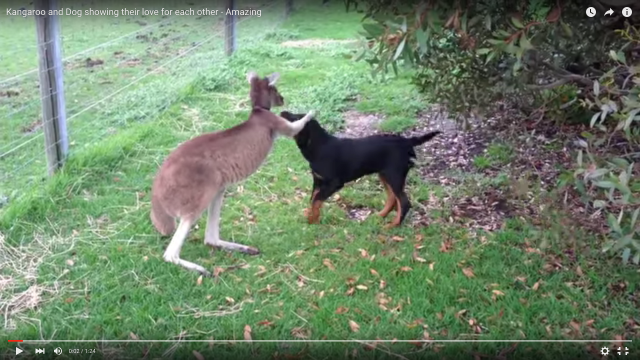 仲良しこよしのカンガルーとワンコ!「なでたい」vs「嗅ぎたい」欲求がぶつかり合っている動画にニヤニヤしちゃおう