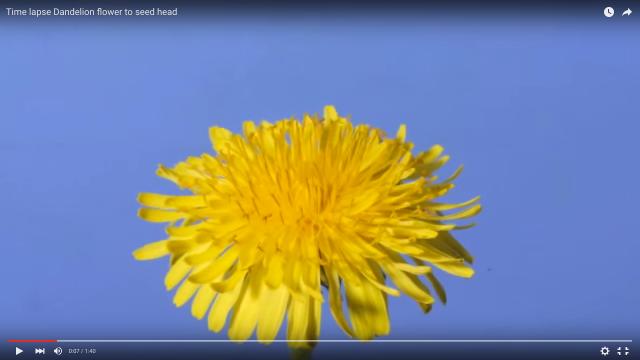 タンポポの黄色い花が綿毛に変わって行く過程をタイムラプスにしてみたら…とっても興味深い映像に!