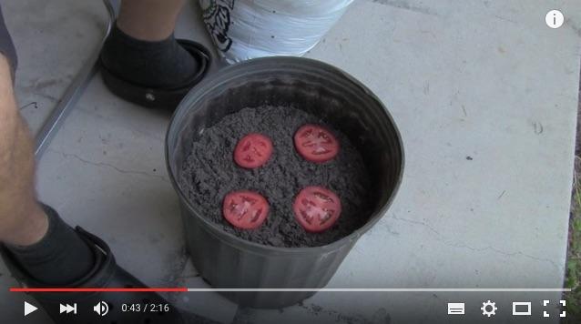 【お気軽ガーデニング】冷蔵庫の「熟れたトマト」は捨てずに植えるべし! とってもカンタンに育つんだよ♪