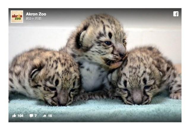 アメリカの動物園でユキヒョウの赤ちゃんが生まれたよ! モッフモフの3匹が可愛くってたまらんです☆