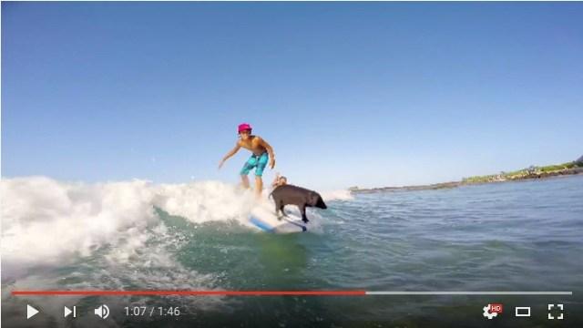 サーフィンできる子ブタちゃん発見! その親ブタさんも飼い主さん親子もサーフィンが得意なんだって!